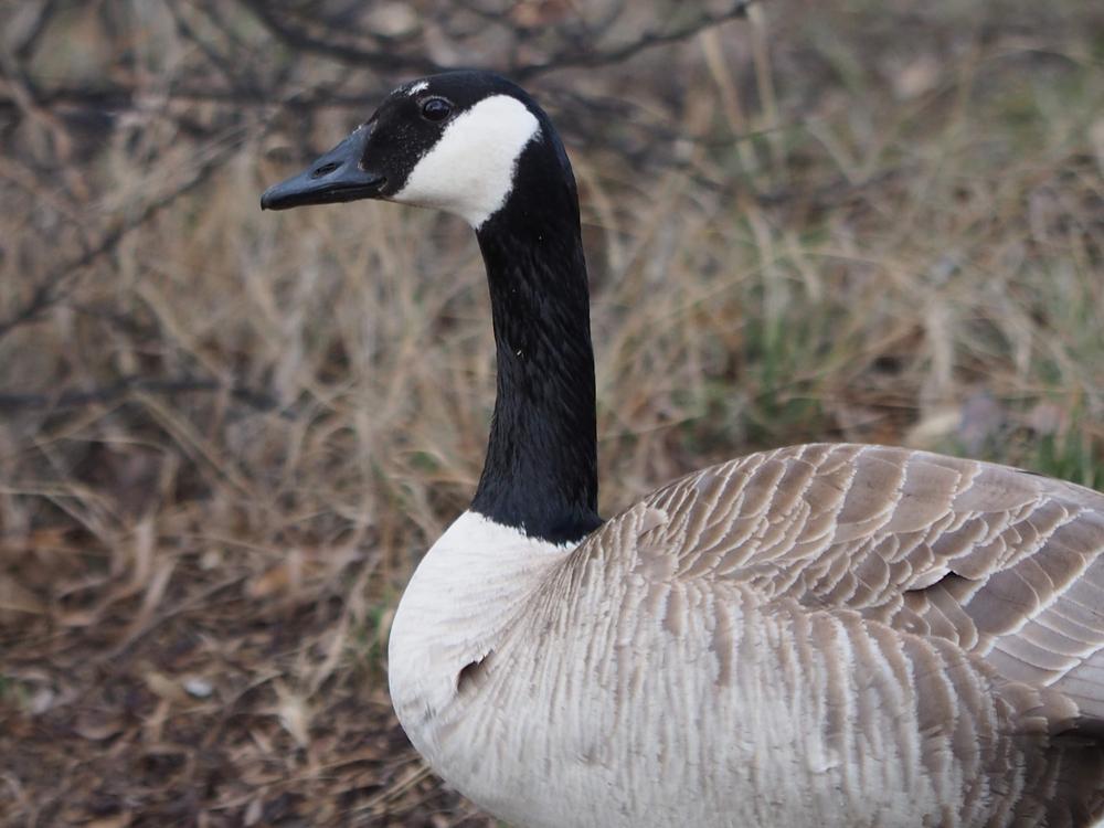 Saskatchewan Bird Hunting